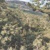 Chêne tauzin dans le Rif Central