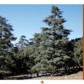 Les Principales Essences Forestières du Maroc - Les Principales Essences Forestières Résineuses du Maroc